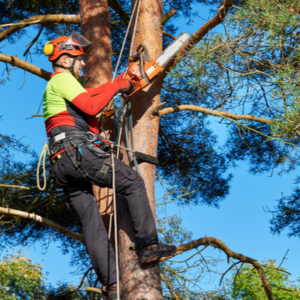 professional tree pruning