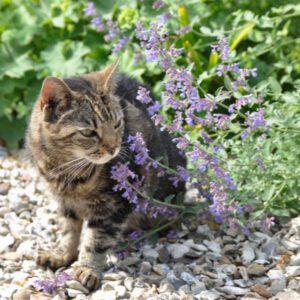cat sniffing catnip plant