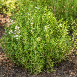 thyme plant outside in garden